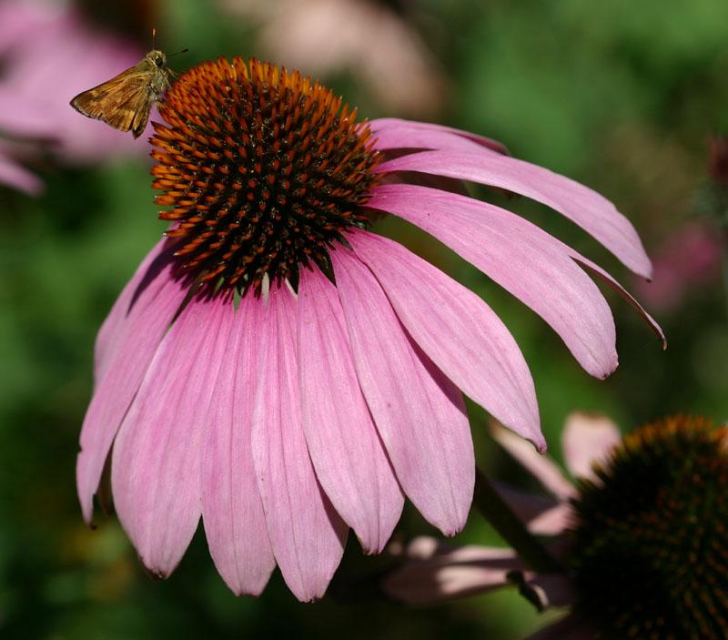 Tinktur - Tinktura Echinacea FORTE 3x po 50 ml