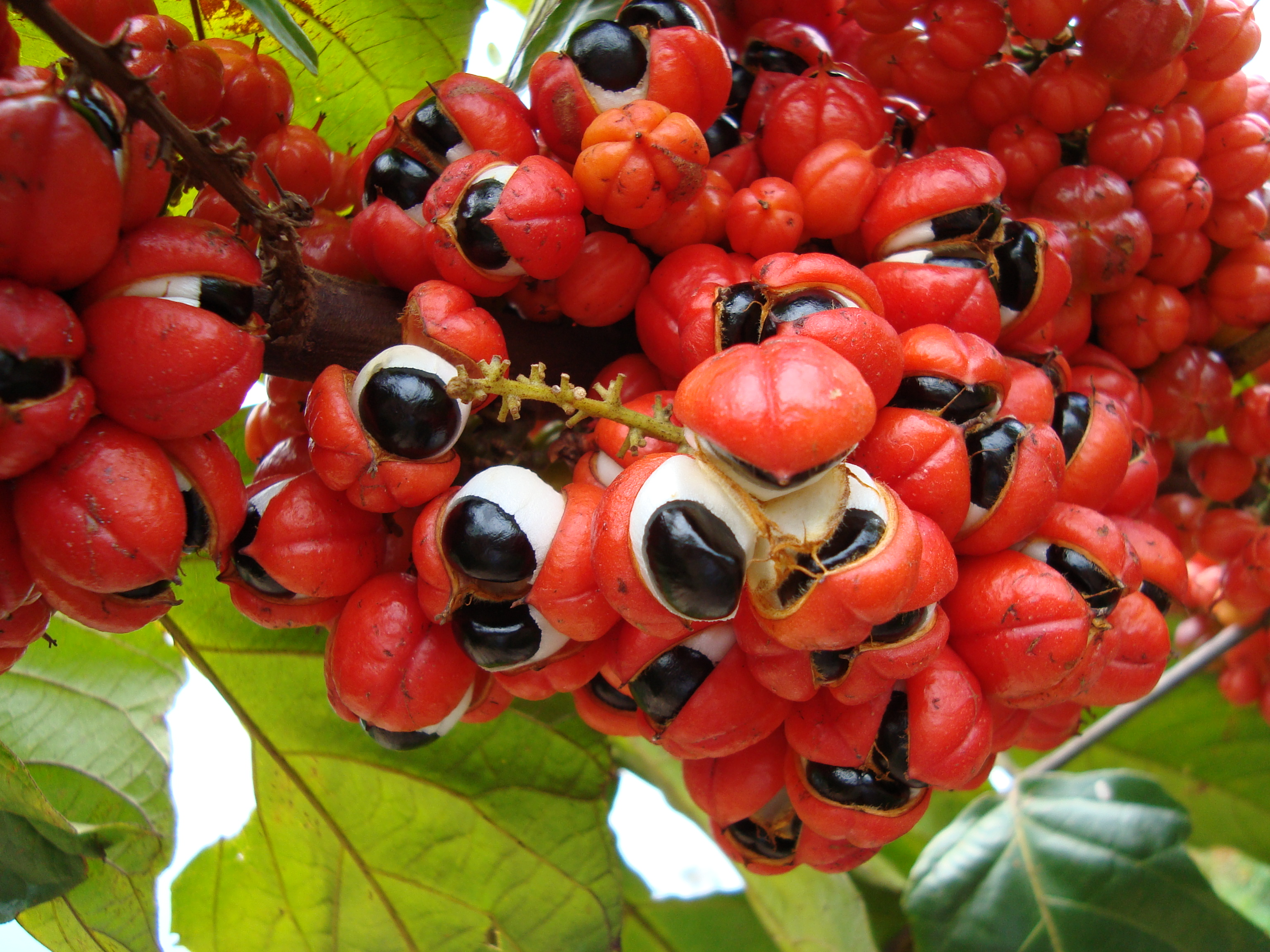 Tinktur - Tinktura Guarana plod FORTE 5x po 50 ml. (Guarana plod)