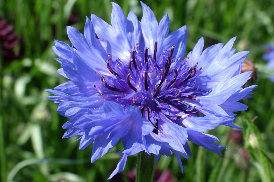 Tinktur - Tinktura Chrpa květ FORTE 10x po 50 ml. (Tinktura z květu chrpy)