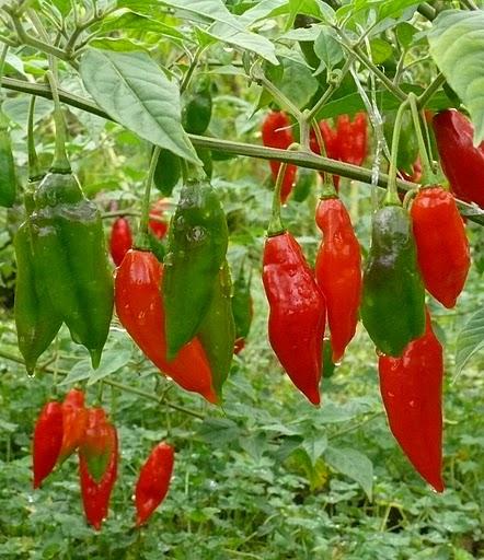 Tinktur - Tinktura chilli papričky HABANERO FORTE 5x 25 ml. (Extra pálivé - 290 000 SHU.)