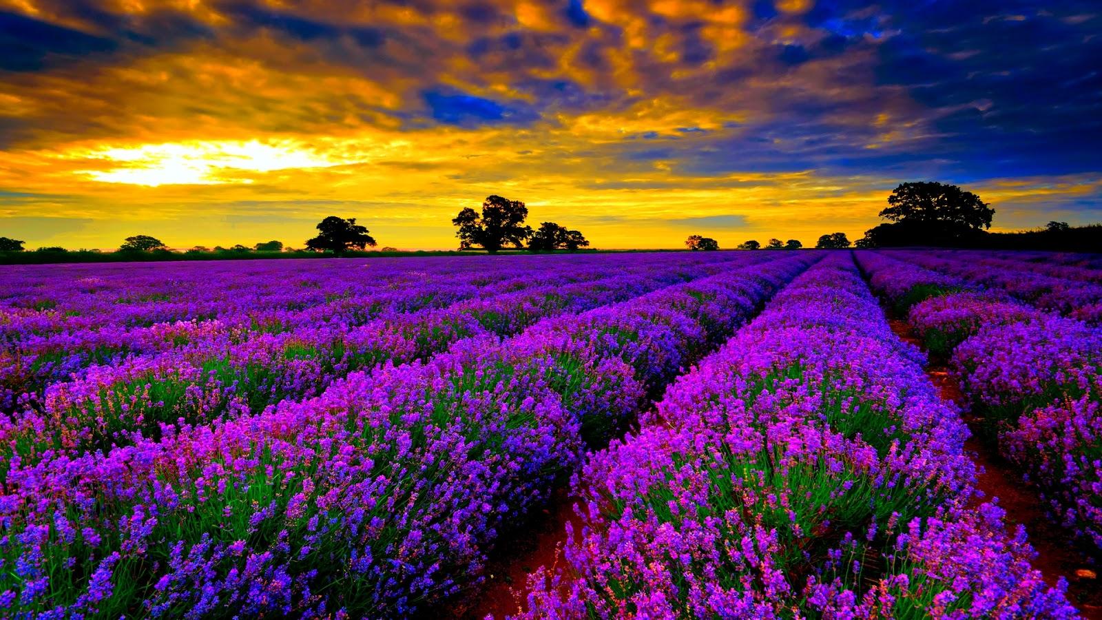 Tinktur - Tinktura Levandule květ FORTE 5x po 50 ml. (Levandulová tinktura)