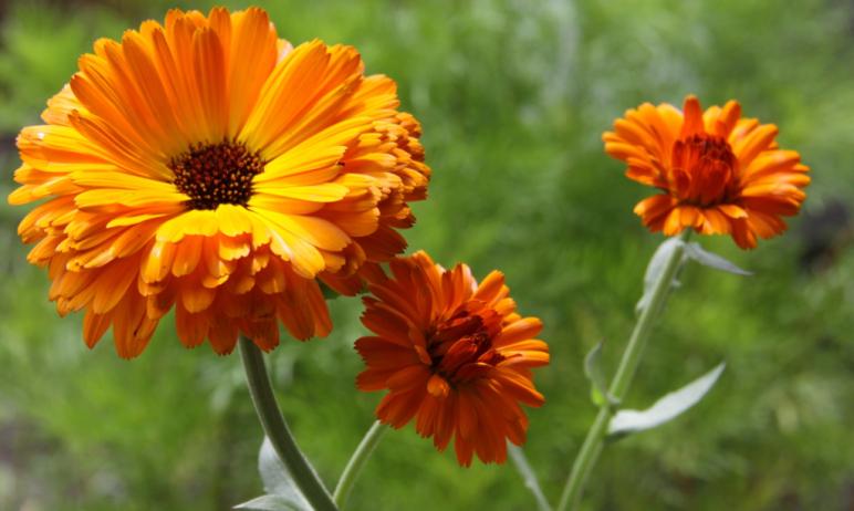 Tinktur - Tinktura Měsíček květ 3x po 50 ml. (Tinktura z měsíčku)
