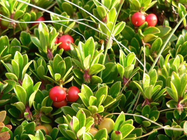 Tinktur - Tinktura Medvědice list 5x po 50 ml. (Tinktura z medvědice)
