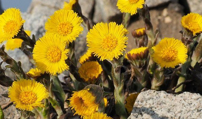 Tinktur - Tinktura Podběl květ 10x po 50 ml. (Tinktura z podbělu)