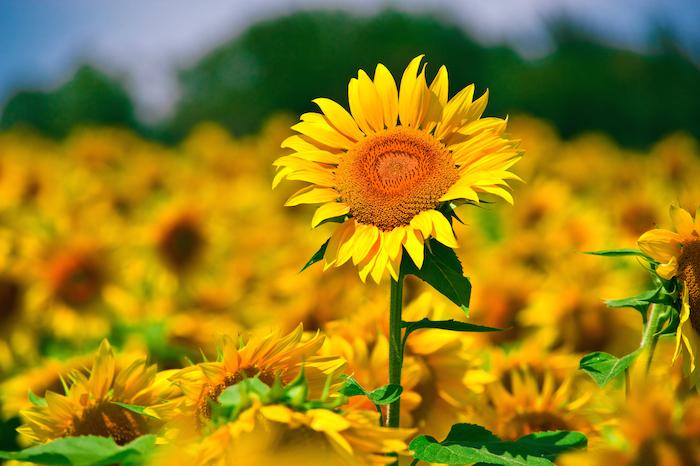 Tinktur - Tinktura Slunečnice květ 5x po 37 ml.