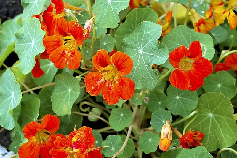 Tinktur - Tinktura Lichořeřišnice semeno 5x po 50 ml. (Tinktura ze semena lichořeřišnice)