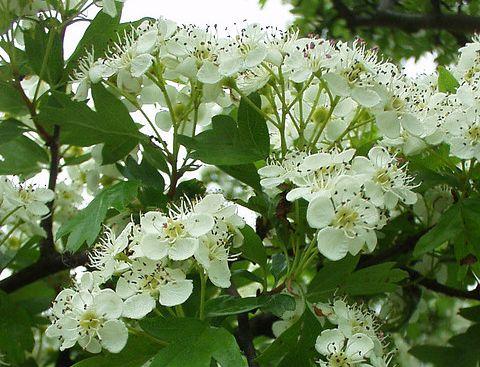 Tinktur - Tinktura Hloh květ i list 5x 50 ml.