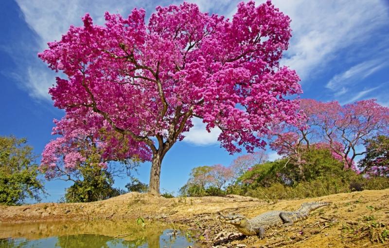 Tinktur - Tinktura Lapacho FORTE 50 ml. (Tinktura z lapacha)