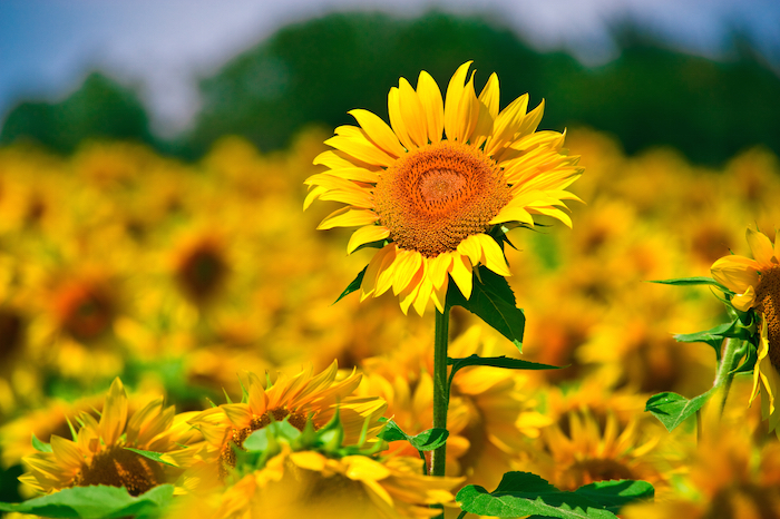 Tinktur - Tinktura Slunečnice květ 37 ml.