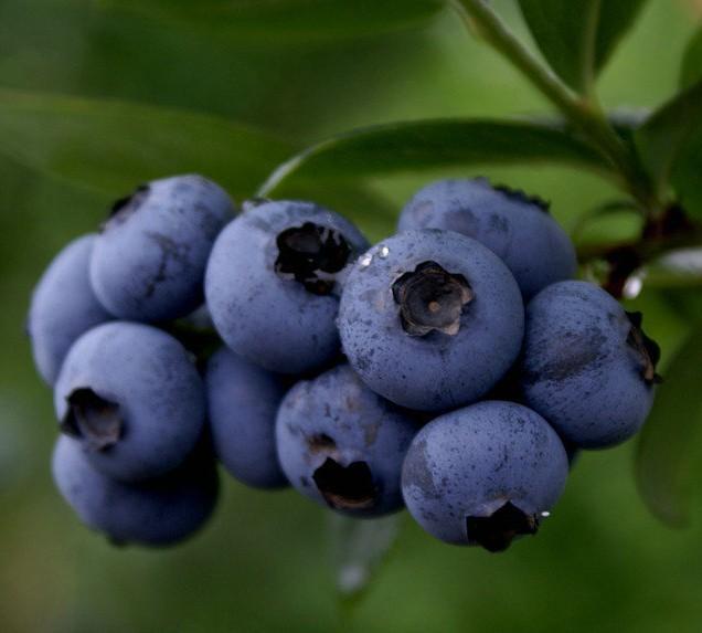 Tinktur - Tinktura Borůvka plod - FORTE 50 ml.